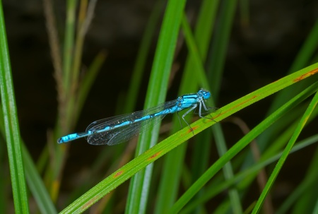 raptorial: A close up of the small blue dragonfly on grass-blade.