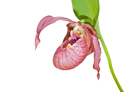 A close up of the flower of orchid lady's slipper with small yellow spider on it. Isolated on white. Stock Photo - 9457224