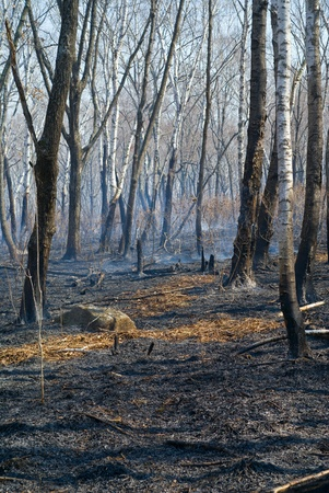 In a leafy forest after fire. Spring.