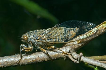 crick: A close-up of the cicada (Tibicen bihamatus).