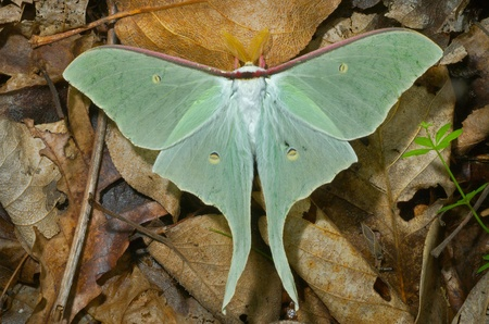 A close up of a big and very beautiful night butterfly (Actias artemis). Male.