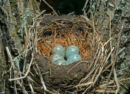 A close up of the nest of thrush with eggs. photo