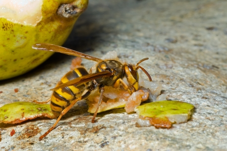 A close up of the hornet eating pear.