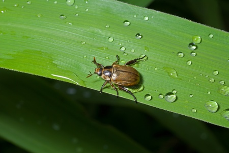 coleopter: A close up of the small beetle chafer on grass-blade with drops of dew.