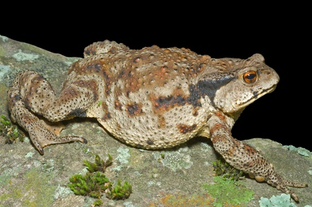 wart: A close up of the toad (Bufo gargarizans). Isolated on black.