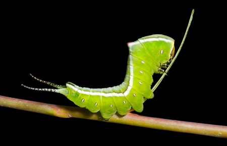 A close up of the green caterpillar (Cerura erminea). Isolated on black. Stock Photo - 10799267