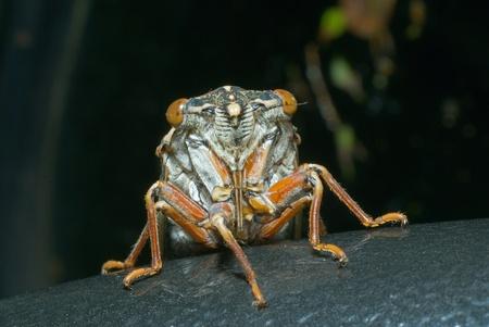 crick: Una stretta della cicala (Tibicen bihamatus). Full-faccia.