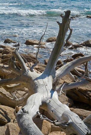 snag: A dead tree without bark on stones at sea.
