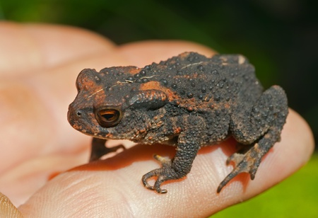 anura: A close up of the young toad (Bufo gargarizans) on hand.