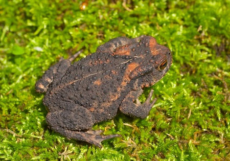 bufo bufo: A close up of the young toad (Bufo gargarizans) on moss.