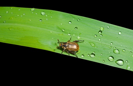 coleopter: A close up of the small beetle chafer on grass-blade with drops of dew. Isolated on black.