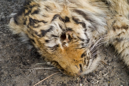 exhaustion: A close up of the head of young tiger, the dead from an exhaustion and colds during a cyclone.