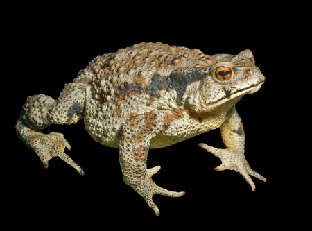 bufo bufo: A close up of the toad (Bufo gargarizans). Isolated on black.