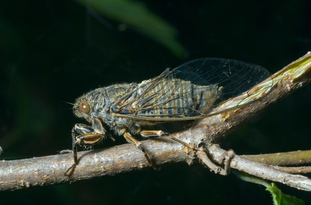 crick: A close-up of the cicada (Tibicen bihamatus).