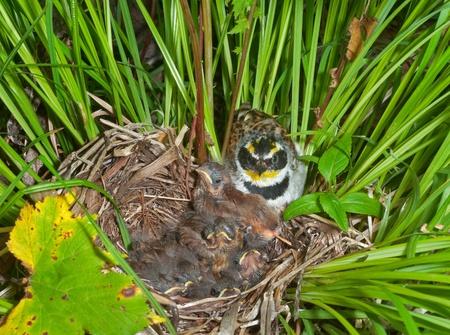 Un escribano (Emberiza elegans) en el nido con los beb�s peque�os. Foto de archivo - 13086879