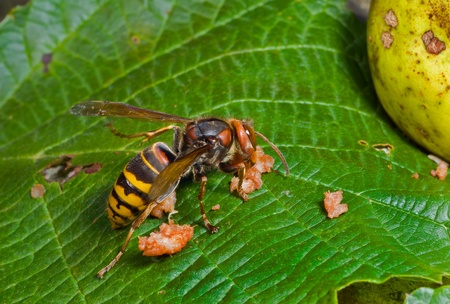 A close up of the hornet eating pear. Stock Photo - 13357678