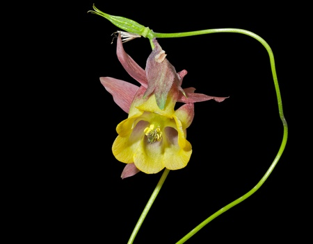 aquilegia: A close up of the flower aquilegia (Aquilegia oxysepala). Isolated on black.