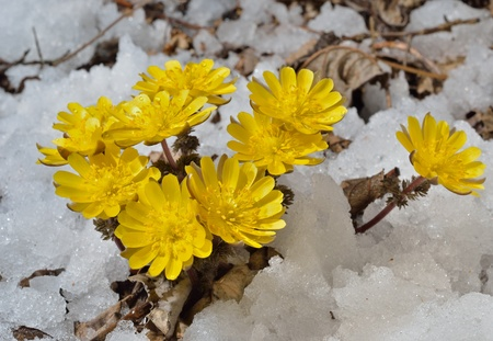 A close up of the flowers pheasants eye (Adonis) among melting snow. Early spring.
