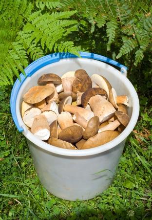brake fern: A bucket with mushrooms (Cep (Boletus edulis) among a grass.