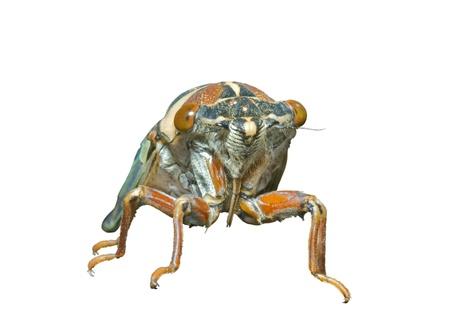 crick: A close up della cicala (Tibicen bihamatus). Isolato su sfondo bianco. Archivio Fotografico