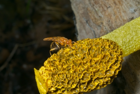 frowzy: A close up of the yellow fly on very fetid mushroom.