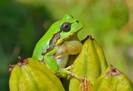 hyla: A close up of the hyla (tree toad) (Hyla Japonica). Stock Photo