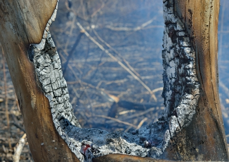 A forest after fire. Stock Photo