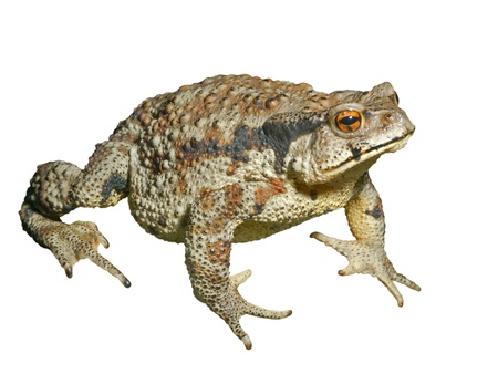 bufo bufo: A close up of the toad (Bufo gargarizans). Isolated on white.