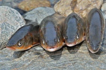 A close up of the catch of fish (Leuciscus brandti). Stock Photo - 16135341