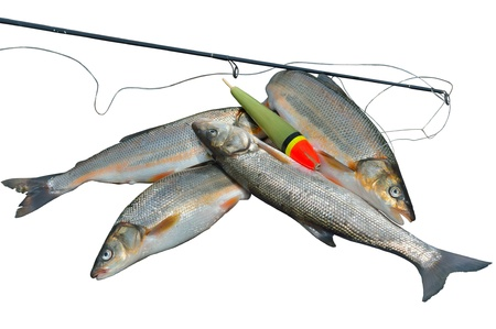 fishingline: A close up of the catch of fish (Leuciscus brandti). Isolated on white.