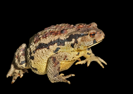 anuran: A close up of the toad (Bufo gargarizans). Isolated on black.