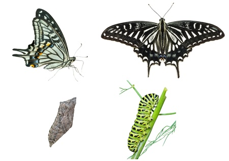 The stages of development butterfly (Papilio xuthus). Isolated on white. Stock Photo