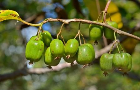 A close up of the berries on Far-East (Actinidia kolomikta).