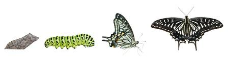 metamorfosis: Las etapas de desarrollo mariposa (Papilio Xuthus). Aislado en blanco. Foto de archivo