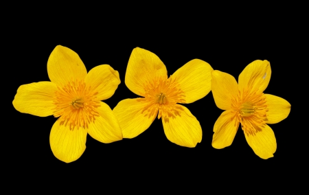 cowslip: A close up of the flowers of kingcup (Caltha palustris). Isolated on black.