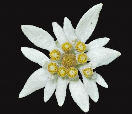 A close up of the flower edelweiss (Leontopodium pallibinianum). Isolated on black. Stock Photo
