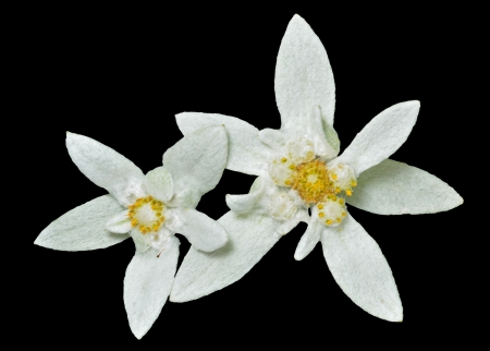 A close up of the two flowers edelweiss (Leontopodium pallibinianum). Isolated on black.