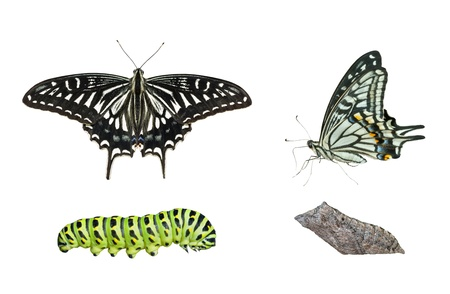 papilio: The stages of development butterfly (Papilio xuthus). Isolated on white. Stock Photo