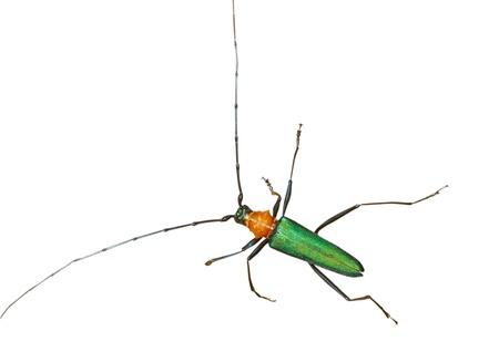 coleopter: A close up of the Capricorn beetle (Chloridolum sieversi). Isolated on white. Stock Photo