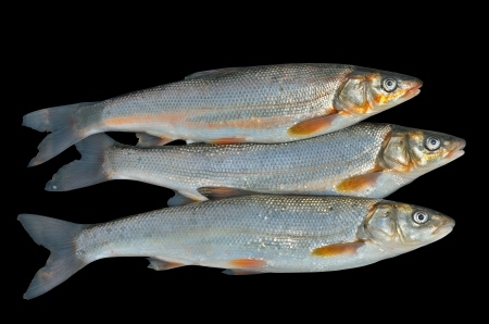A close up of the fishes (Leuciscus brandti). Isolated on black. Stock Photo - 17066749