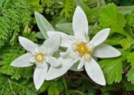 A close up of the flowers edelweiss (Leontopodium pallibinianum).