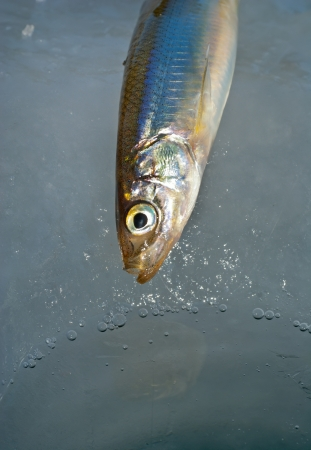 A close up of the fish smelt on hook on winter fishing. photo
