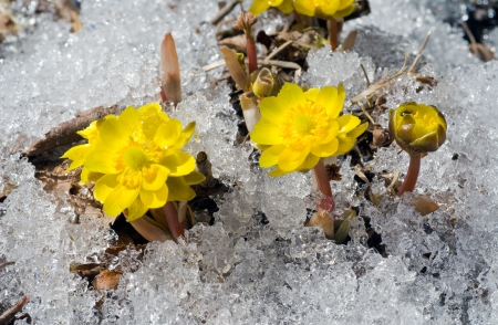 A close up of the first flowers pheasant's eye (Adonis) among melting snow. Early spring.