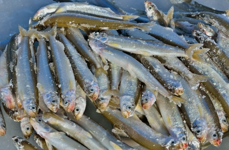 Catch on winter fishing. A close up of the fishes smelt on ice. Stock Photo - 17474699