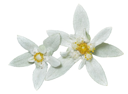 A close up of the two flowers edelweiss (Leontopodium pallibinianum). Isolated on white.