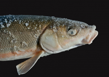 A close up of the fish (Leuciscus brandti). Isolated on black. Stock Photo - 18014482