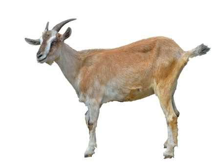 The white and yellow she-goat. Isolated on white. Stock Photo