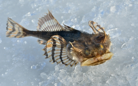 A close up of the small pigfish on ice Stock Photo - 18460034