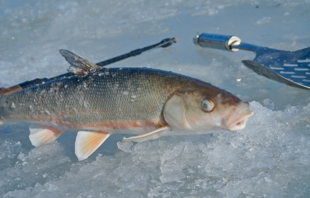 A close up of the fish  Leuciscus brandti , fishing-tackle and scoop on ice  photo