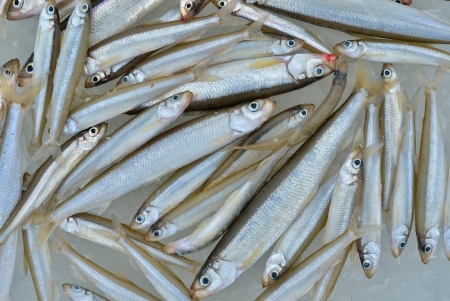 Catch on winter fishing  A close up of the fishes smelt on ice  photo